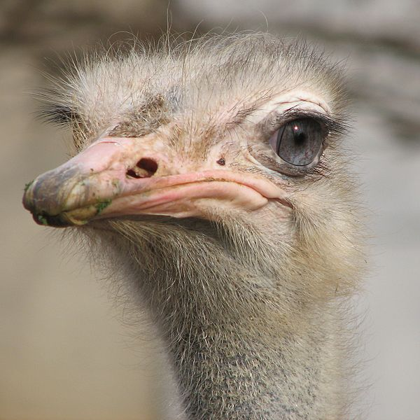 Ostrich at Louisville Zoo