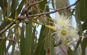 800px-Eucalyptus_tereticornis_flowers,_capsules,_buds_and_foliage