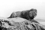 Barbary Lion 1893